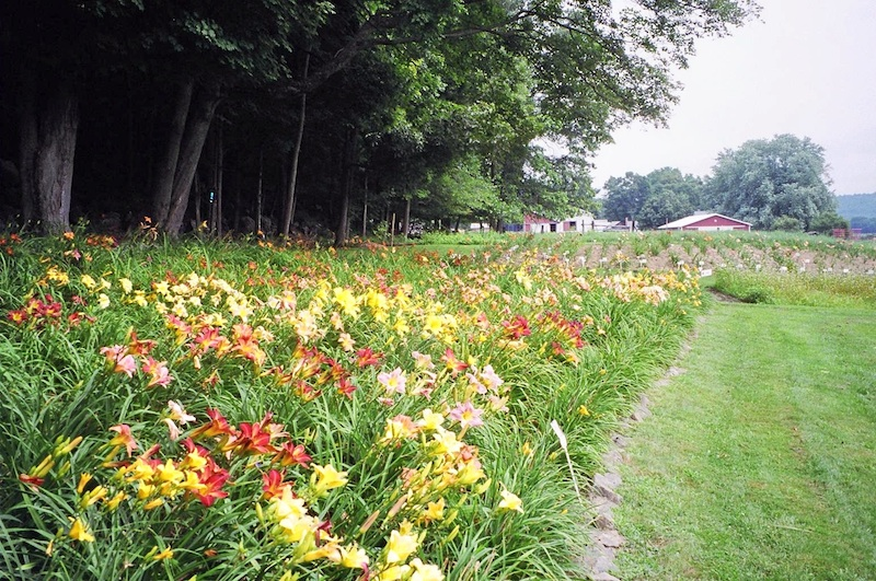 Pine Nook Daylilies gardens along the edge of the Pocumtuck Mountain Range..